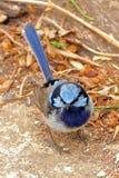 Превосходный Фе-крапивниковые - великолепный Fairy крапивниковые Стоковые Изображения