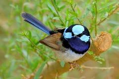 Превосходный Фе-крапивниковые - великолепный Fairy крапивниковые Стоковая Фотография