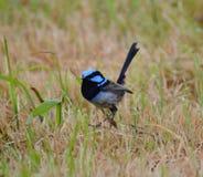 Превосходный голубой крапивниковые Стоковые Фото