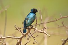 Превосходный Starling на ветви Стоковое Фото