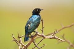 Превосходный Starling на ветви Стоковые Фотографии RF
