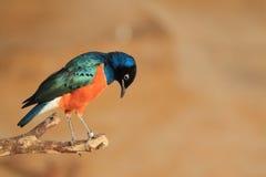 Превосходный Starling Стоковые Изображения RF