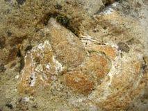 Превращенные в камень зуб и Jawbone Стоковое Изображение RF