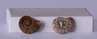 Превращенные в камень раковины nautilus стоковая фотография