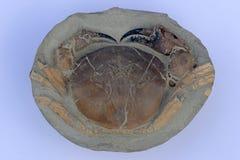 Превращенный в камень краб от Новой Зеландии Стоковое фото RF