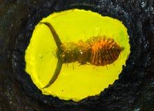 Превращенный в камень прибалтийский янтарь с насекомым внутрь Стоковые Изображения
