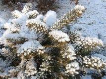 предел разветвляет firry снежок Стоковое Фото