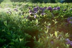 предложение зеленого цвета вишни цветения Стоковое Изображение