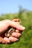 предохранение от цыпленока Стоковое Фото