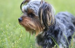 Предохранитель щенка Yorkie смотря и стоя Стоковое Изображение RF