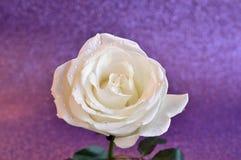 Предпосылка белизны розовая Стоковое фото RF