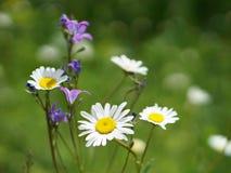 Предпосылка белого стоцвета и голубого колокольчика на зеленом f Стоковое Фото