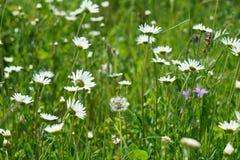 Предпосылка белого стоцвета и голубого колокольчика на лете Стоковые Фото