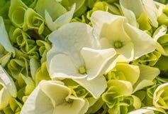 Предпосылка белых цветков мягких белых цветений и бутонов гортензии, конца вверх Стоковые Изображения RF