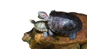 предпосылка больше моего портфолио видит белизну черепахи изолированная черепаха стоковая фотография
