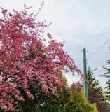 Предпосылка весны внешняя красочная при деревья зацветая в пинке Стоковая Фотография