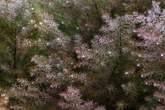 Предпосылка весны свежая с росными ветвями дерева хвои Стоковые Изображения RF