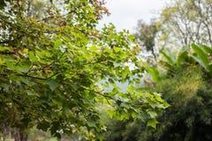 Предпосылка весны с кленовыми листами Стоковое Изображение