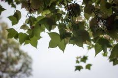 Предпосылка весны с кленовыми листами Стоковые Изображения RF