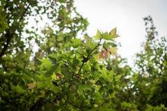 Предпосылка весны с кленовыми листами Стоковая Фотография