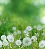 Предпосылка весны с одуванчиком Стоковая Фотография