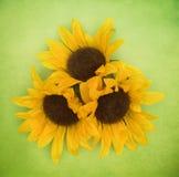 Предпосылка весны флористическая солнцецветов Стоковая Фотография