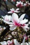 Предпосылка весны флористическая с цветками магнолии Стоковая Фотография
