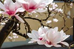 Предпосылка весны флористическая с цветками магнолии Стоковые Изображения