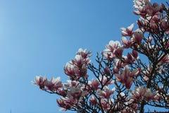 Предпосылка весны флористическая с цветками магнолии Стоковое Изображение