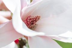 Предпосылка весны флористическая с цветками магнолии Стоковое Изображение RF