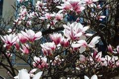 Предпосылка весны флористическая с цветками магнолии Стоковая Фотография RF
