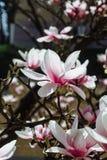 Предпосылка весны флористическая с цветками магнолии Стоковые Фотографии RF