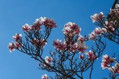 Предпосылка весны флористическая с цветками магнолии Стоковое Фото