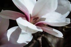 Предпосылка весны флористическая с цветками магнолии Стоковые Изображения RF