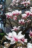 Предпосылка весны флористическая с цветками магнолии Стоковое фото RF