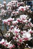 Предпосылка весны флористическая с цветками магнолии Стоковые Фото