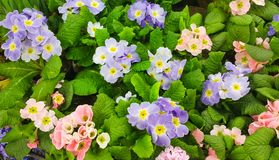 Предпосылка весны цветков primula vulgaris Стоковые Изображения RF