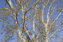 Предпосылка ветвей серебряного тополя вектор вала иллюстрации осени имеющийся Стоковые Изображения RF