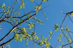 Предпосылка ветвей яблони Стоковое Фото