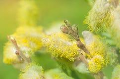 Предпосылка ветви вербы весны Стоковые Изображения