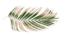 предпосылка выходит белизна пальмы стоковая фотография rf