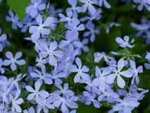 Предпосылка голубого флокса на саде Стоковое Фото