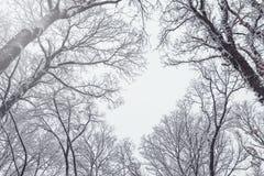 Предпосылка дерева зимы Деревья зимы замерли лесом, который Стоковая Фотография RF