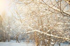 Предпосылка дерева зимы солнечная Ветви покрыли снег Сезонно концепция предпосылки зимы Christmass стоковые изображения