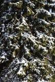 Предпосылка дерева зимы с снегом Стоковые Изображения RF