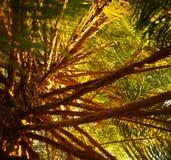 Предпосылка дерева сосенки Стоковая Фотография