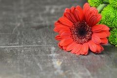 Предпосылка дня матерей Красная маргаритка gerbera на ржавой предпосылке с космосом экземпляра стоковые фото