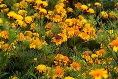предпосылка дует желтый цвет ветра высокорослых валов лужка зеленых холмов травы цветков Стоковые Фотографии RF