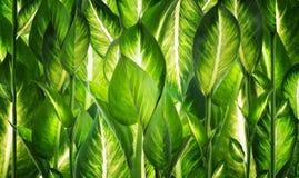 Предпосылка естественных зеленых листьев Стоковые Изображения
