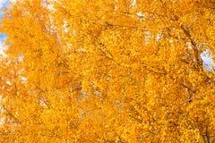 Предпосылка желтого цвета осени природы леса березы осени Стоковая Фотография